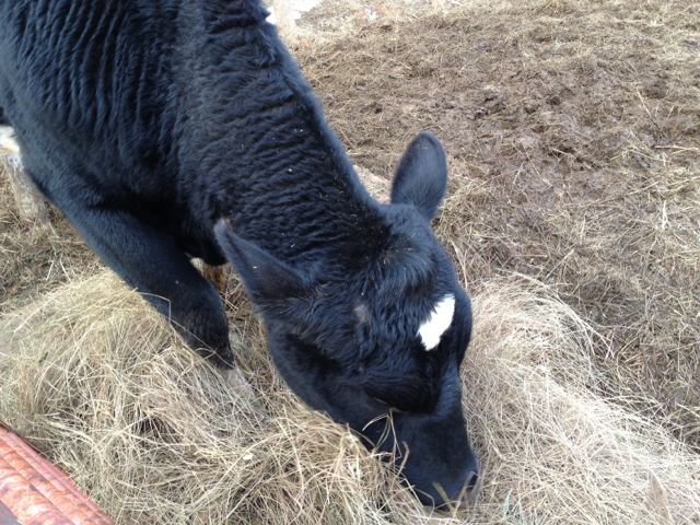 Dairy cow enjoying salt marsh hay.