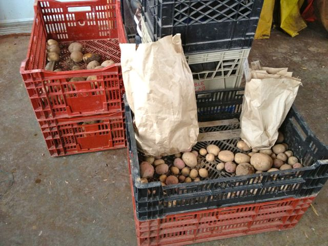 Sorting potatoes for planting in 2014
